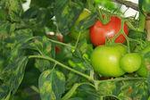 Pomidor choroby — Zdjęcie stockowe