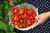 Hands hold basket with red tomatoes — Stock Photo
