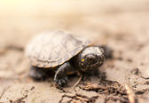 Baby turtle — Stock Photo