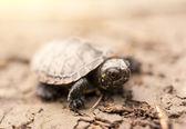 Baby turtle — Stock Photo