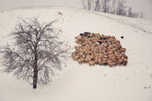 Stádo ovcí — Stock fotografie