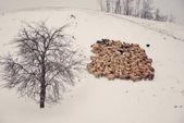 Rebaño de ovejas — Foto de Stock