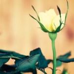 Yellow rose — Stock Photo #46106791