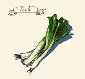 Vector watercolor hand drawn vintage illustration of leek — Stock Vector