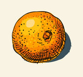 Vector watercolor hand drawn vintage illustration of orange — Stock Vector