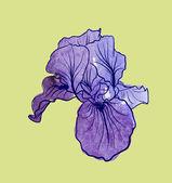 Iris flower — Stock Vector