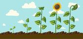Ripening sunflower, — Stock Vector