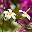 Stock Photo: Exotic frandipani flowers