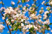 Apple flowers in full blossom during springtime — Foto de Stock