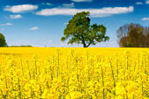 Rapeseed field on a sunny day - bees at work — Foto de Stock