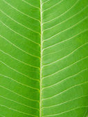 Extreme close-up of fresh green leaf as background. — 图库照片