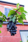 Close up of red wine grapes hanging on the vine — Stock Photo