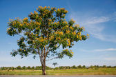 Yellow flamboyant tree — Stock Photo