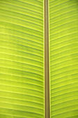Texture of banana leaf — Photo