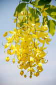 Flowering cassia — Stock Photo