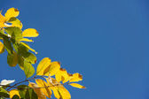 Yellow leaf with blue sky — Foto Stock