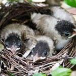 Baby birds in the nest — Stock Photo