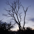Stock Photo: Leafless trees on sunset