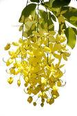 Flowering cassia — Stock Photo