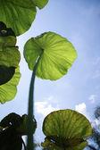 Nelumbo Lotus leaf — Stock Photo