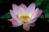 Nelumbo lotus — Stock Photo