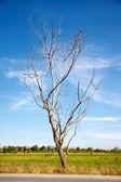 árvore sem folhas, com céu azul — Foto Stock