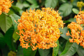Orange ixoras flower — Stock Photo