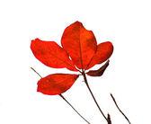 红色孟加拉杏仁 — 图库照片