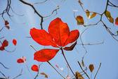 Liście bengal migdałów — Zdjęcie stockowe