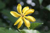 Цветок гардении — Стоковое фото