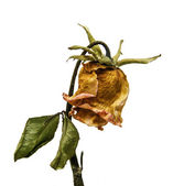Dry rose flower — Stock fotografie