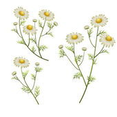 Camomile flowers — Stock Vector