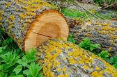 新鲜桩的树 — 图库照片