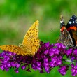 Two butterflies on purple flower  — Stock Photo