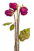 Bouquet of three dried roses — Stockfoto