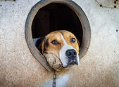 Sad dog on a chain in kennel — Stock Photo
