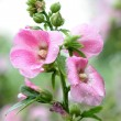 Pink flowers look fresh after the rain — Stock Photo