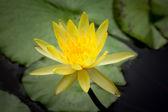 Agua lilly — Foto de Stock