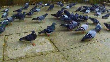 Pigeons — Stock Video