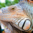 Mexican spiny-tailed iguana — Stock Photo