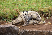 Mexican spiny tail iguanas mating period — Stock Photo