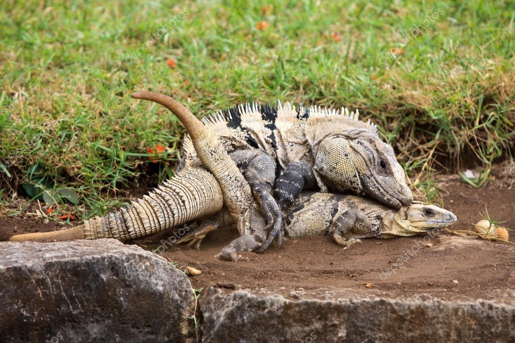 Iguanas Sex 27