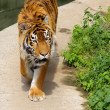 Tiger in captivity — Stock Photo