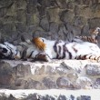 Lazy tiger at the zoo — Stock Photo