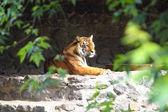 Tiger in gefangenschaft — Stockfoto