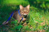 Young tabby cat on a leash — Stock Photo