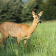 Roe deer female — Stock fotografie #25778609