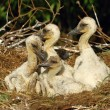 Stock Photo: Stork children