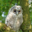 Young owl — Photo #25962791