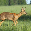 Stock Photo: Beautiful roe deer